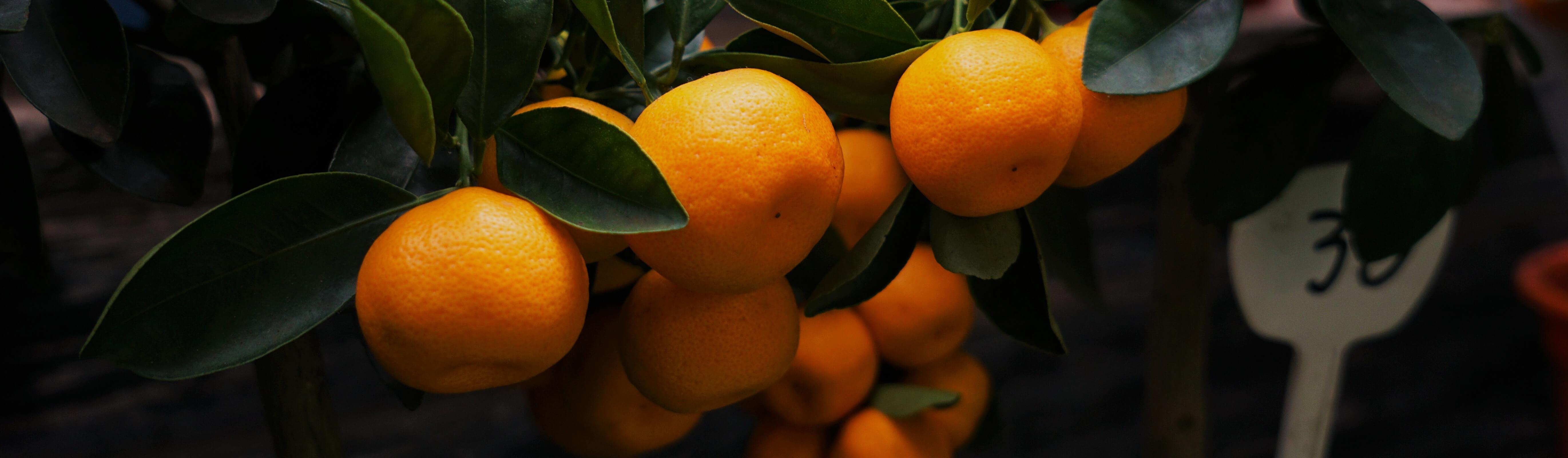 verse sinaasappels aan een boom